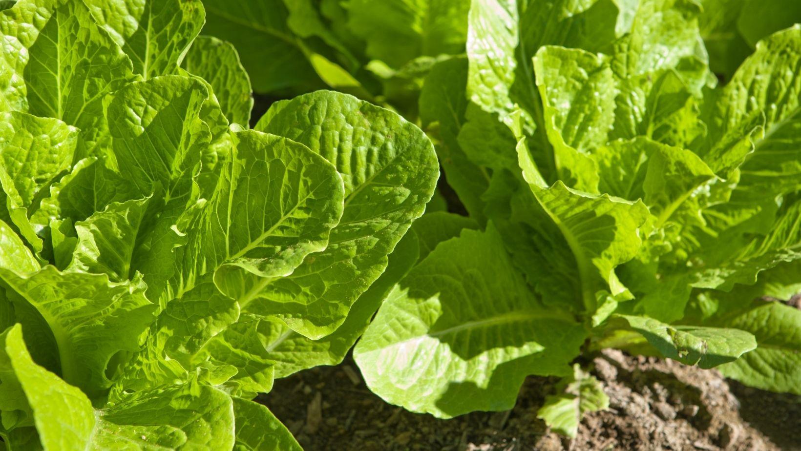 Saláta terméshozama. Mennyi lehet a termésátlag otthon?