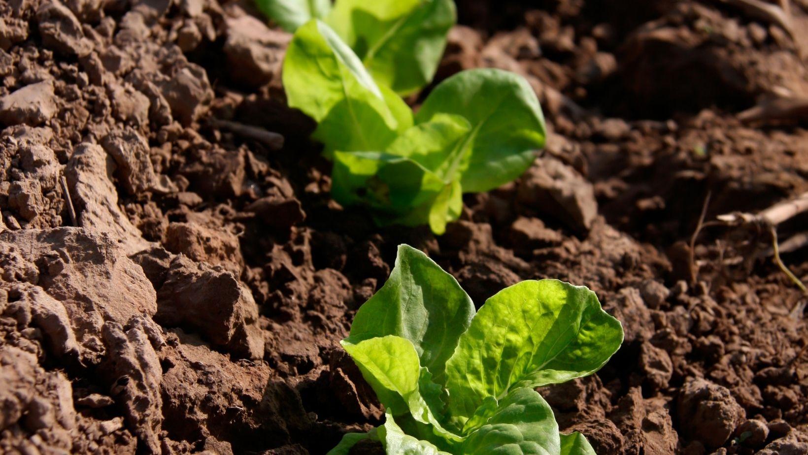 Saláta magvetése és csíráztatás lépésekben