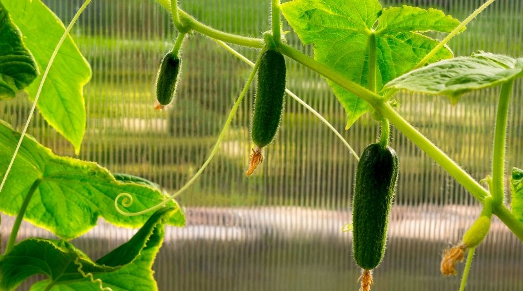 Uborka terméshozama. Mennyi lehet a termésátlag otthon?
