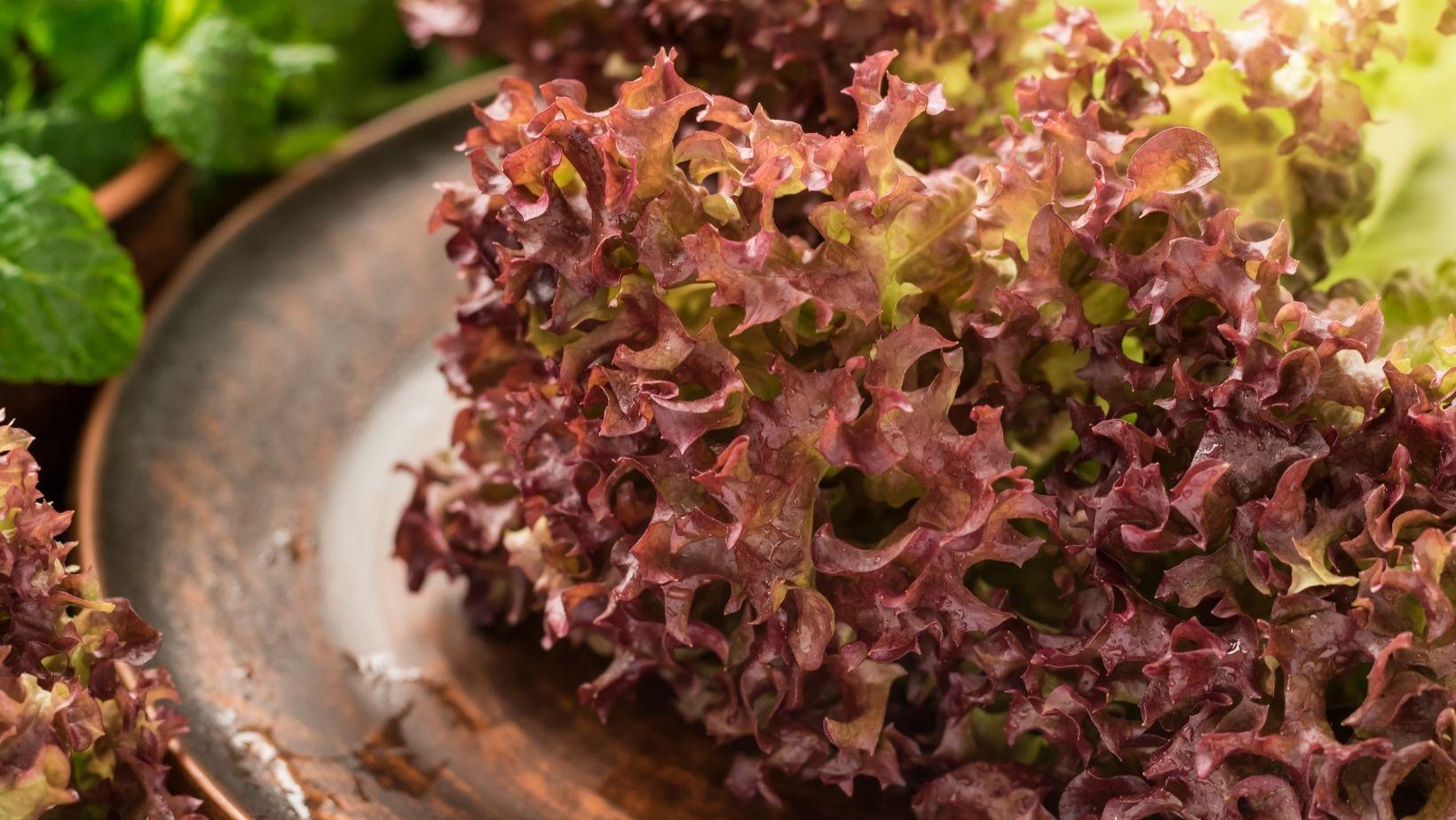 Saláta fajták bemutatása