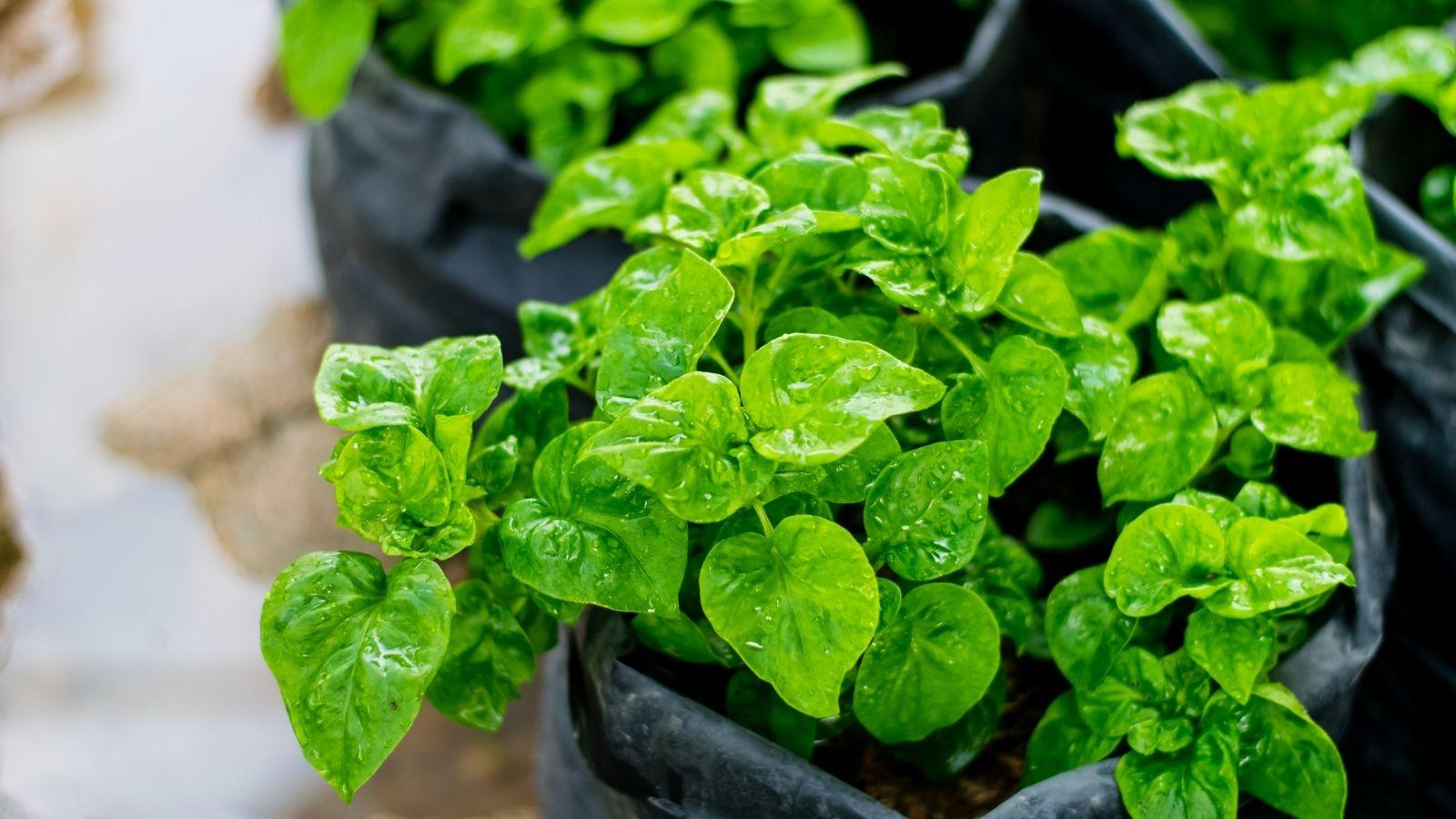 Spenót terméshozama. Mennyi lehet a termésátlag otthon?