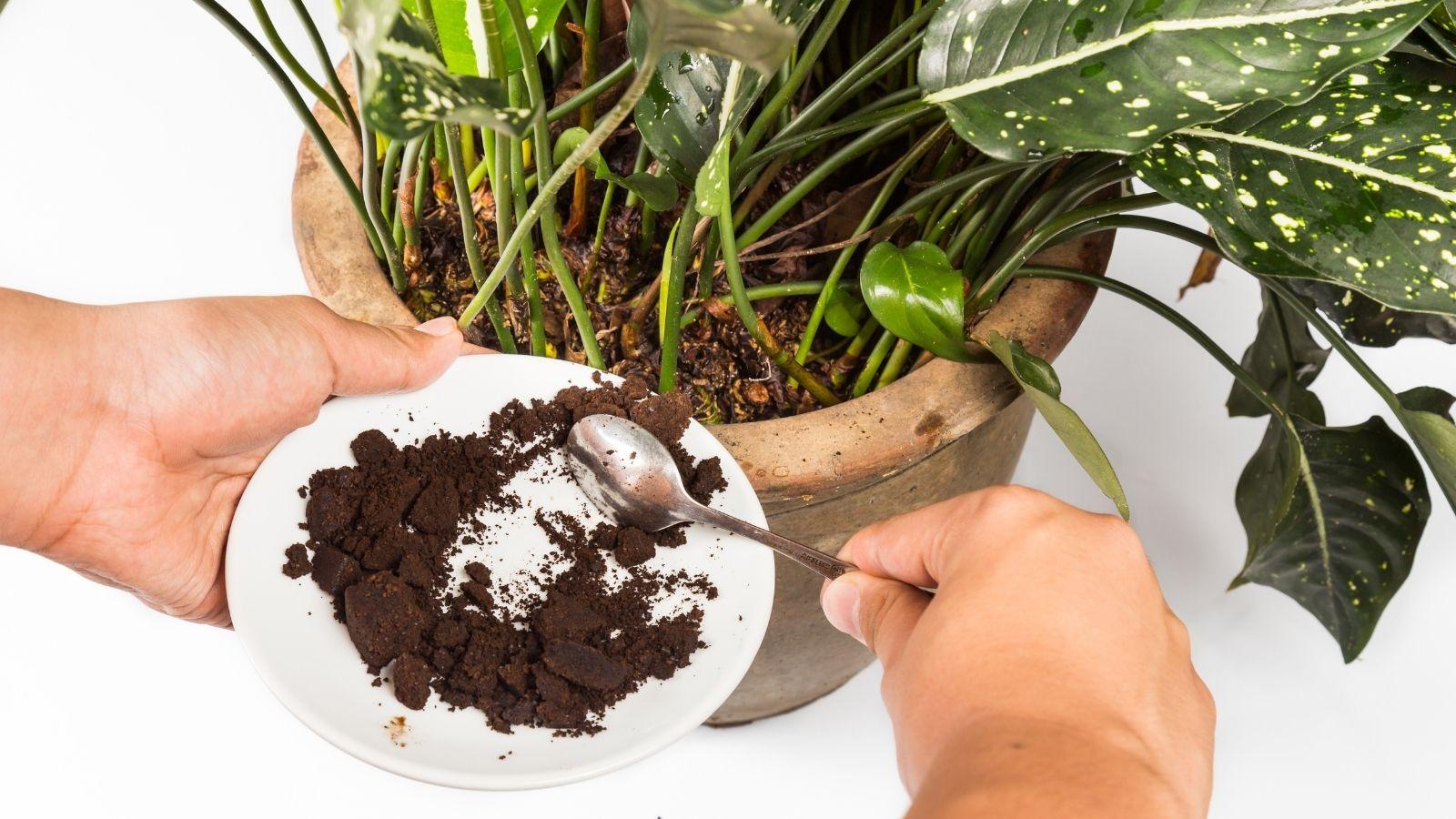 Melyik növény szereti a kávézaccot?